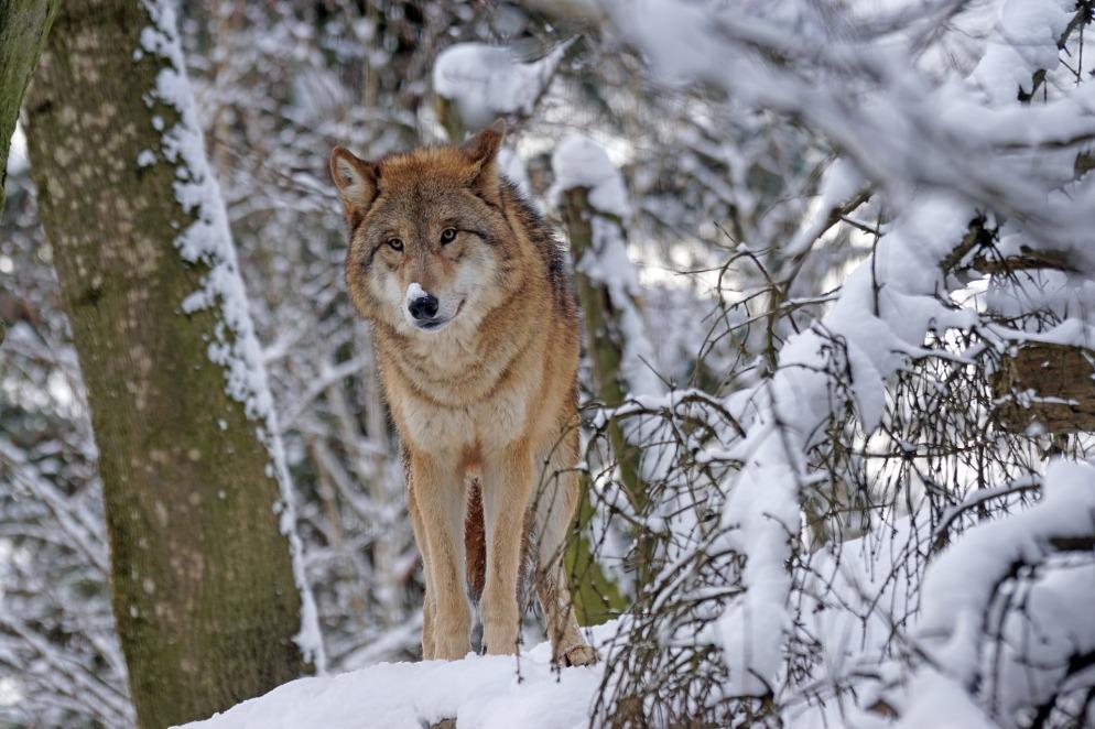 wolf-1972764_1920